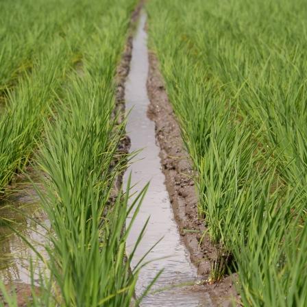 ▲この溝で田んぼの水はけがよくなります